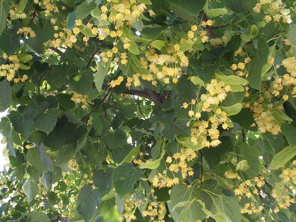 Un problema una soluzione i fiori di tiglio iphabi for Tiglio albero